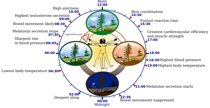 An example demonstrating optimal bodily functions in coordination with natural circadian clock cycles.